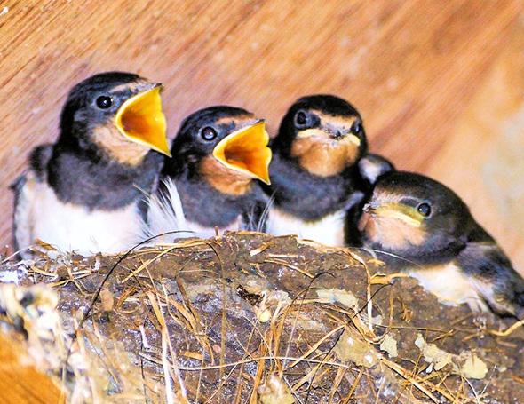 590x455 fledgling 02